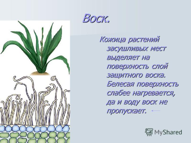 Воск. Кожица растений засушливых мест выделяет на поверхность слой защитного воска. Белесая поверхность слабее нагревается, да и воду воск не пропускает.