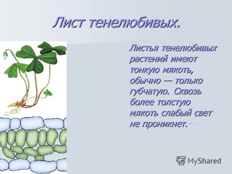 Лист тенелюбивых. Листья тенелюбивых растений имеют тонкую мякоть, обычно только губчатую. Сквозь более толстую мякоть слабый свет не проникнет.