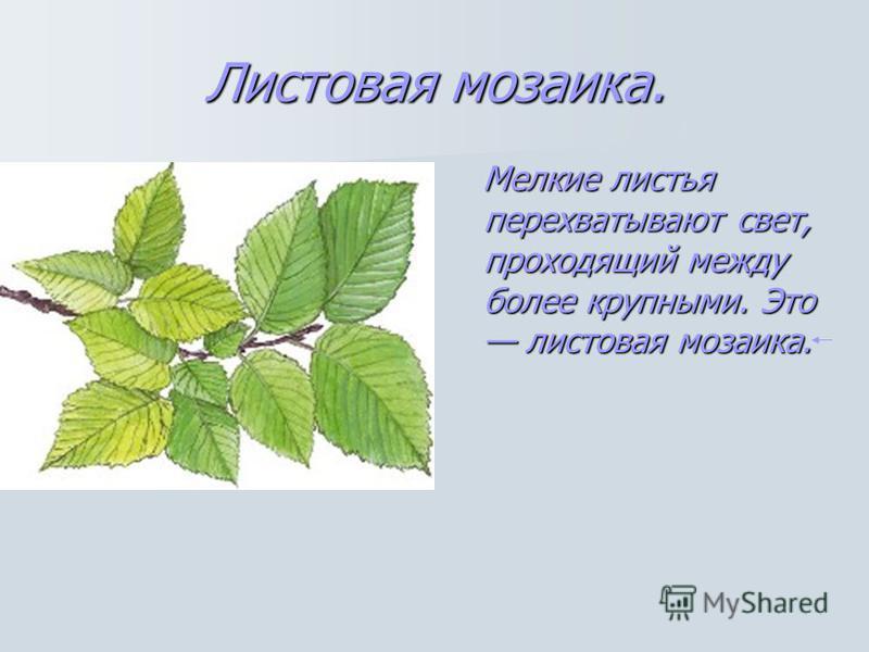 Листовая мозаика. Мелкие листья перехватывают свет, проходящий между более крупными. Это листовая мозаика.