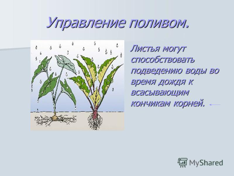 Управление поливом. Листья могут способствовать подведению воды во время дождя к всасывающим кончикам корней.