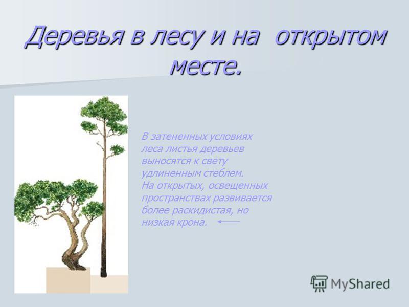 Деревья в лесу и на открытом месте. В затененных условиях леса листья деревьев выносятся к свету удлиненным стеблем. На открытых, освещенных пространствах развивается более раскидистая, но низкая крона.