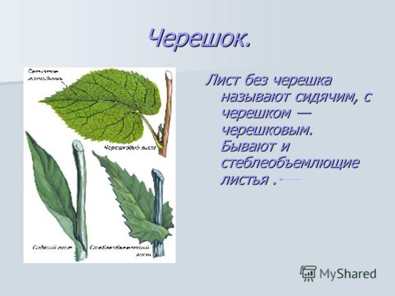 Черешок. Лист без черешка называют сидячим, с черешком черешковым. Бывают и стеблеобъемлющие листья.