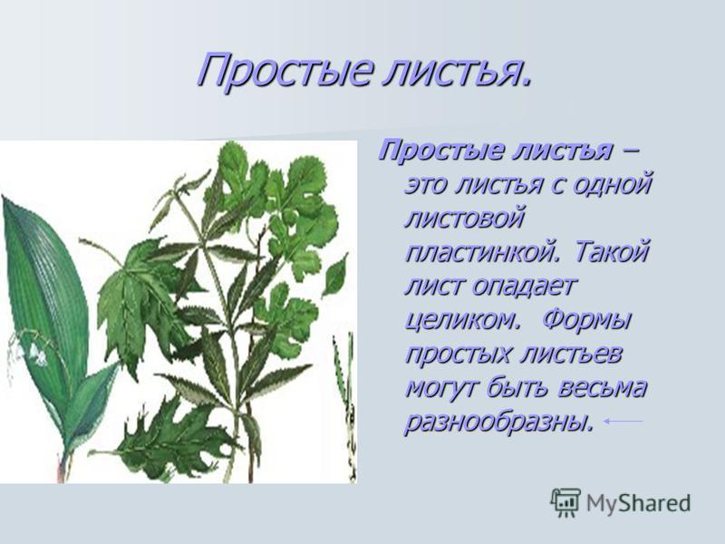 Простые листья. Простые листья – это листья с одной листовой пластинкой. Такой лист опадает целиком. Формы простых листьев могут быть весьма разнообразны.