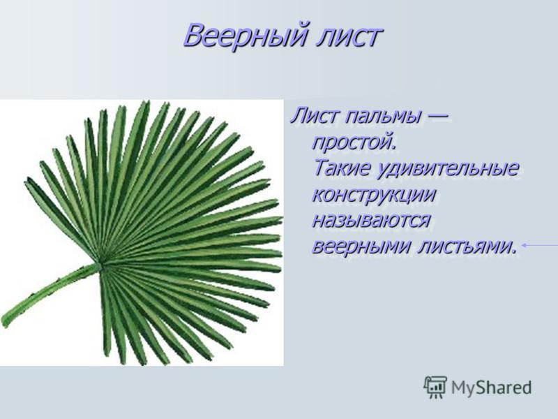 Веерный лист Лист пальмы простой. Такие удивительные конструкции называются веерными листьями. Лист пальмы простой. Такие удивительные конструкции называются веерными листьями.