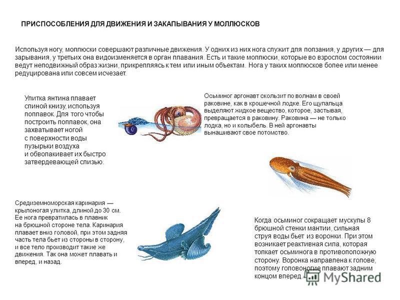 ПРИСПОСОБЛЕНИЯ ДЛЯ ДВИЖЕНИЯ И ЗАКАПЫВАНИЯ У МОЛЛЮСКОВ Используя ногу, моллюски совершают различные движения. У одних из них нога служит для ползания, у других для зарывания, у третьих она видоизменяется в орган плавания. Есть и такие моллюски, которы
