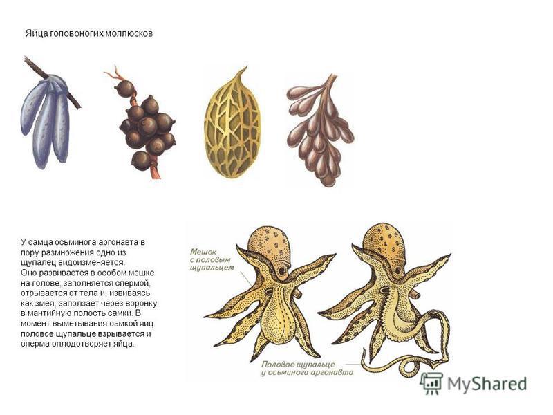 Яйца головоногих моллюсков У самца осьминога аргонавта в пору размножения одно из щупалец видоизменяется. Оно развивается в особом мешке на голове, заполняется спермой, отрывается от тела и, извиваясь как змея, заползает через воронку в мантийную пол