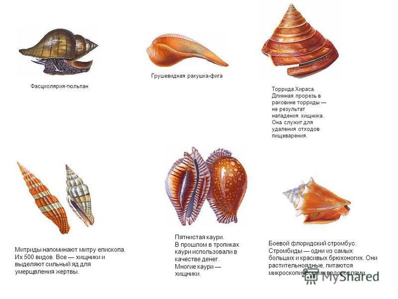 Фасциолярия-тюльпан Грушевидная ракушка-фига Торрида Хираса. Длинная прорезь в раковине торриды не результат нападения хищника. Она служит для удаления отходов пищеварения. Митриды напоминают митру епископа. Их 500 видов. Все хищники и выделяют сильн