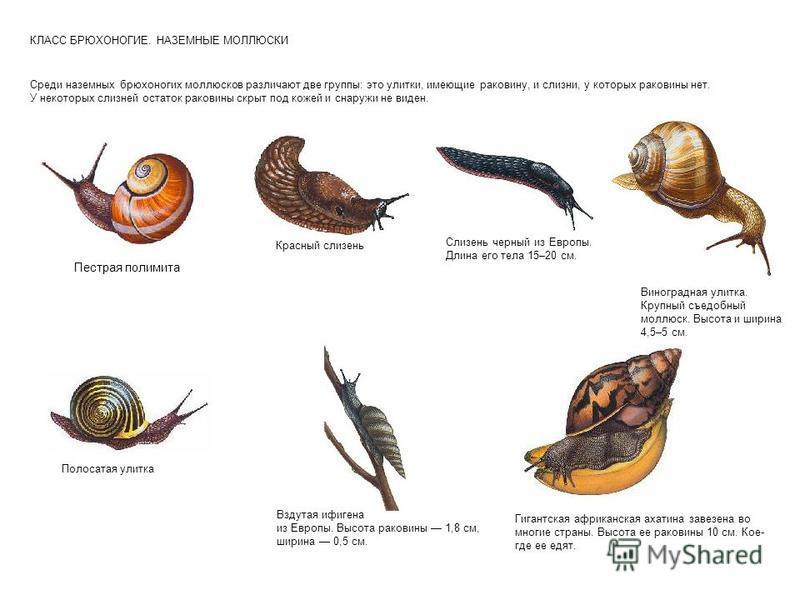 КЛАСС БРЮХОНОГИЕ. НАЗЕМНЫЕ МОЛЛЮСКИ Среди наземных брюхоногих моллюсков различают две группы: это улитки, имеющие раковину, и слизни, у которых раковины нет. У некоторых слизней остаток раковины скрыт под кожей и снаружи не виден. Пестрая полимита Кр
