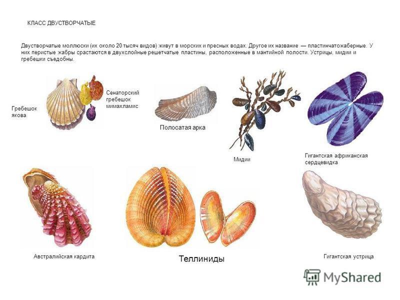 КЛАСС ДВУСТВОРЧАТЫЕ Двустворчатые моллюски (их около 20 тысяч видов) живут в морских и пресных водах. Другое их название пластинчатожаберные. У них перистые жабры срастаются в двухслойные решетчатые пластины, расположенные в мантийной полости. Устриц