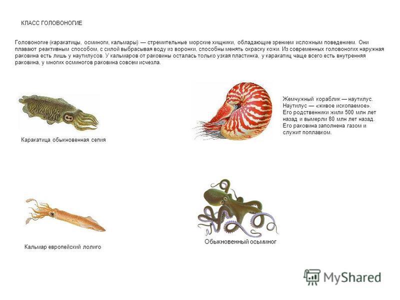 КЛАСС ГОЛОВОНОГИЕ Головоногие (каракатицы, осминоги, кальмары) стремительные морские хищники, обладающие зрением исложным поведением. Они плавают реактивным способом, с силой выбрасывая воду из воронки, способны менять окраску кожи. Из современных го