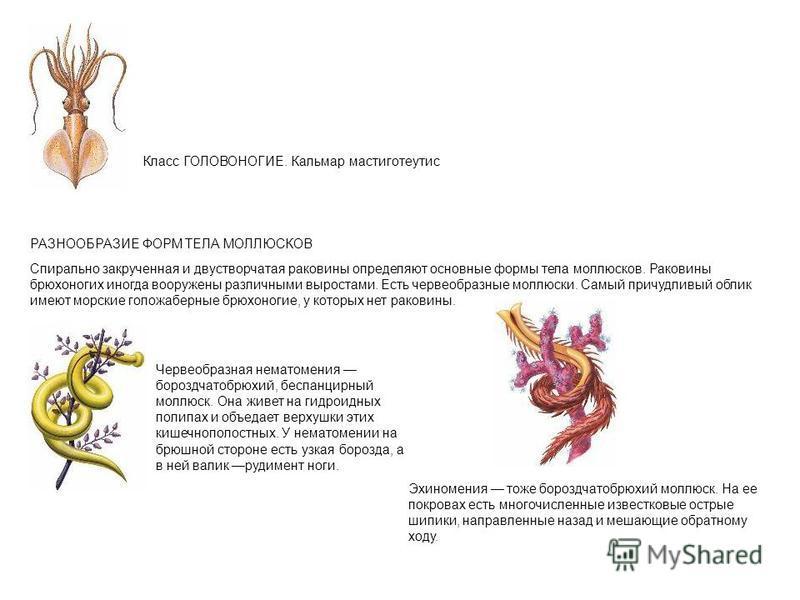 Класс ГОЛОВОНОГИЕ. Кальмар мастиготеутис РАЗНООБРАЗИЕ ФОРМ ТЕЛА МОЛЛЮСКОВ Спирально закрученная и двустворчатая раковины определяют основные формы тела моллюсков. Раковины брюхоногих иногда вооружены различными выростами. Есть червеобразные моллюски.