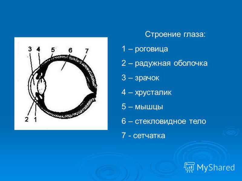 Строение глаза: 1 – роговица 2 – радужная оболочка 3 – зрачок 4 – хрусталик 5 – мышцы 6 – стекловидное тело 7 - сетчатка