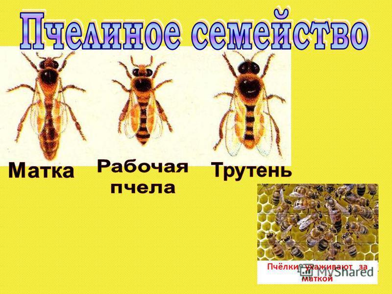 Пчёлки ухаживают за маткой