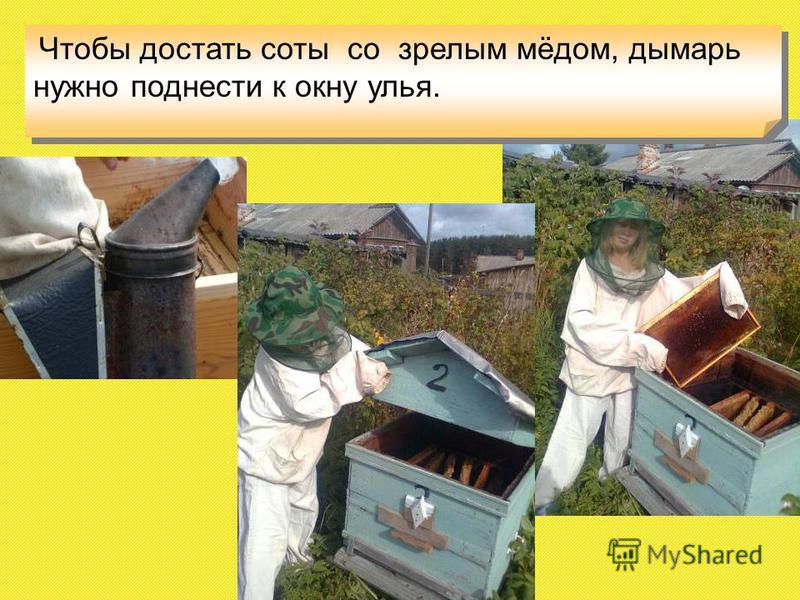 Чтобы достать соты со зрелым мёдом, дымарь нужно поднести к окну улья.
