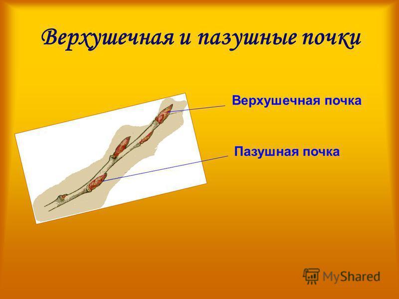 Верхушечная и пазушные почки Верхушечная почка Пазушная почка