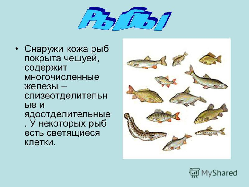 Снаружи кожа рыб покрыта чешуей, содержит многочисленные железы – слизеотделительно ые и ядоотделительные. У некоторых рыб есть светящиеся клетки.