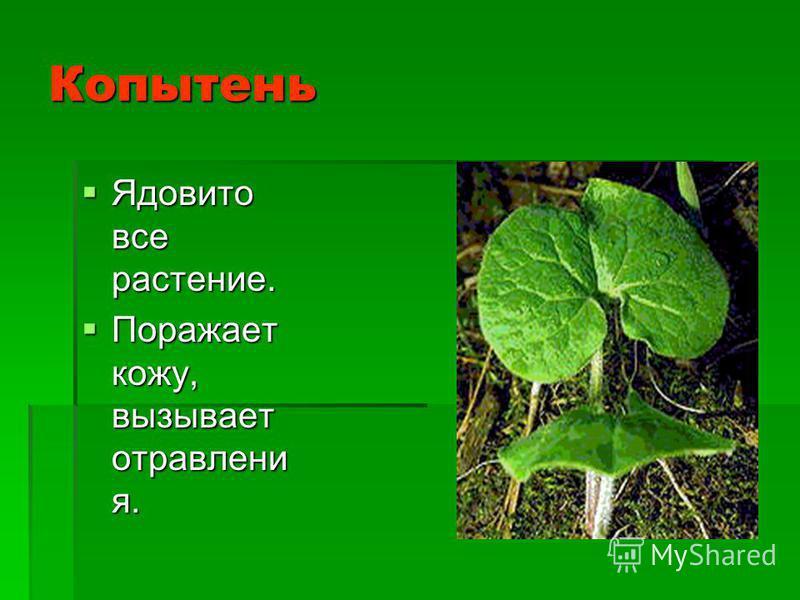 Копытень Ядовито все растение. Ядовито все растение. Поражает кожу, вызывает отравления. Поражает кожу, вызывает отравления.