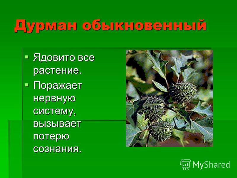 Дурман обыкновенный Ядовито все растение. Ядовито все растение. Поражает нервную систему, вызывает потерю сознания. Поражает нервную систему, вызывает потерю сознания.