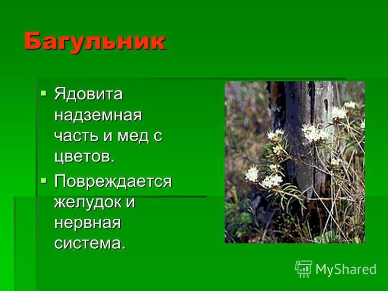Багульник Ядовита надземная часть и мед с цветов. Ядовита надземная часть и мед с цветов. Повреждается желудок и нервная система. Повреждается желудок и нервная система.