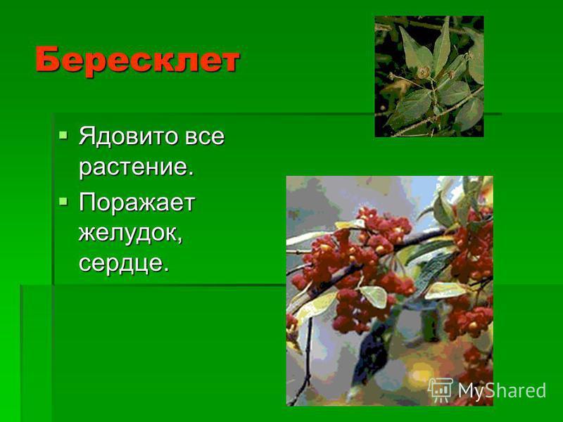 Бересклет Ядовито все растение. Ядовито все растение. Поражает желудок, сердце. Поражает желудок, сердце.