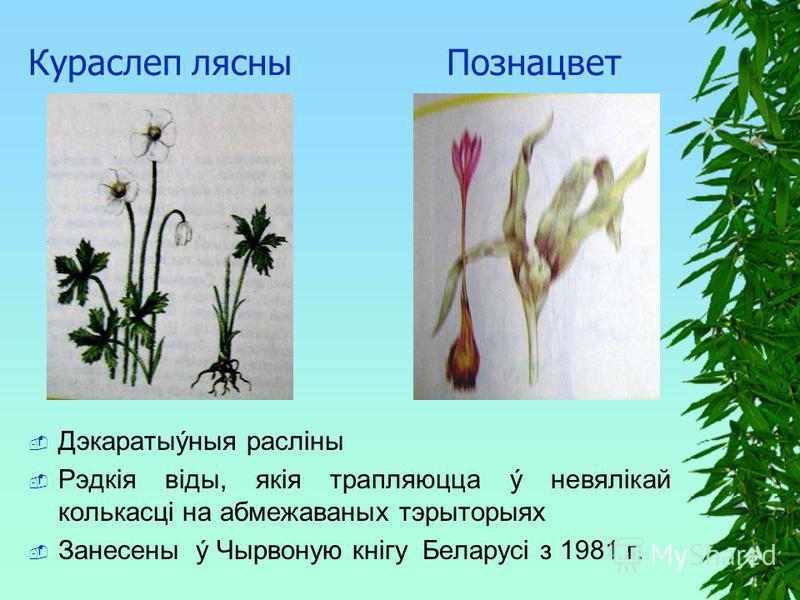Кураслеп лясны Познацвет Дэкаратыýныя раслiны Рэдкiя вiды, якiя трапляюцца ý невялiкай колькасцi на абмежаваных тэрыторыях Занесены ý Чырвоную кнiгу Беларусi з 1981 г.