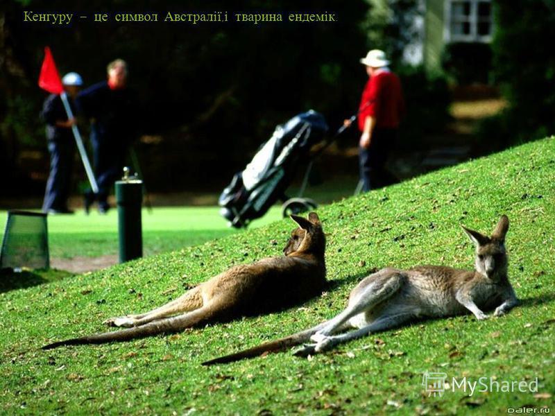 Кенгуру – це символ Австралії, і тварина ендемік.