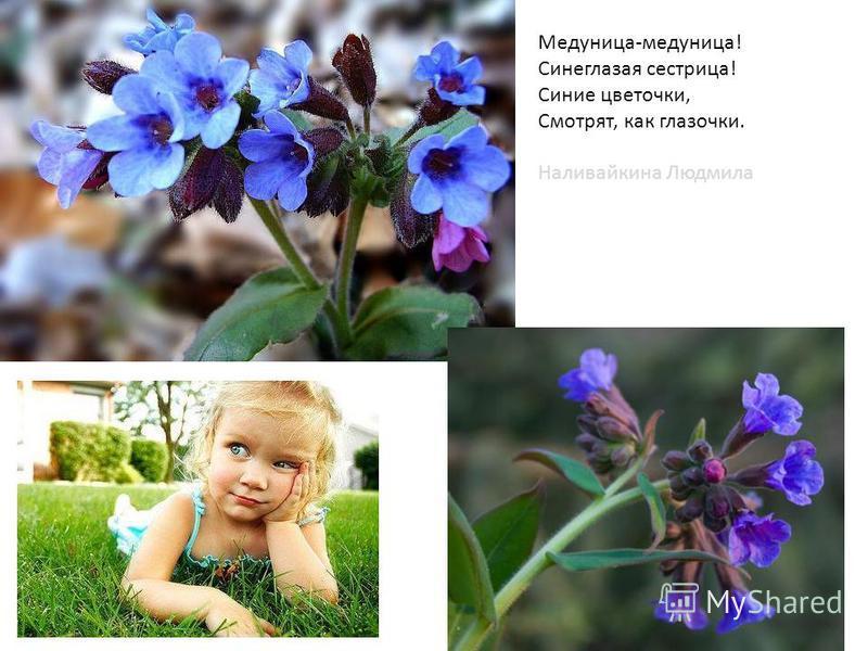 Медуница-медуница! Синеглазая сестрица! Синие цветочки, Смотрят, как глазочки. Наливайкина Людмила