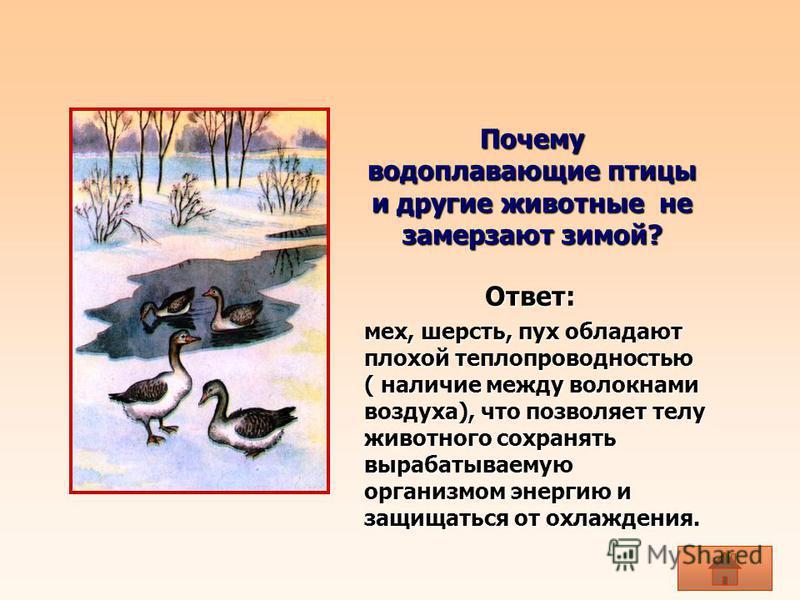 Почему водоплавающие птицы и другие животные не замерзают зимой? мех, шерсть, пух обладают плохой теплопроводностью ( наличие между волокнами воздуха), что позволяет телу животного сохранять вырабатываемую организмом энергию и защищаться от охлаждени