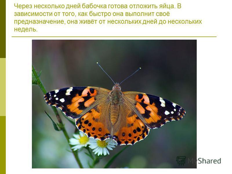 Через несколько дней бабочка готова отложить яйца. В зависимости от того, как быстро она выполнит своё предназначение, она живёт от нескольких дней до нескольких недель.