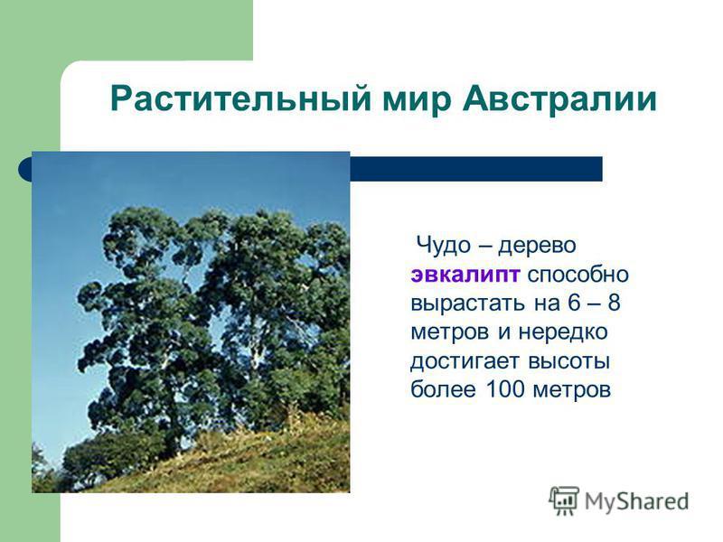 Растительный мир Австралии Чудо – дерево эвкалипт способно вырастать на 6 – 8 метров и нередко достигает высоты более 100 метров