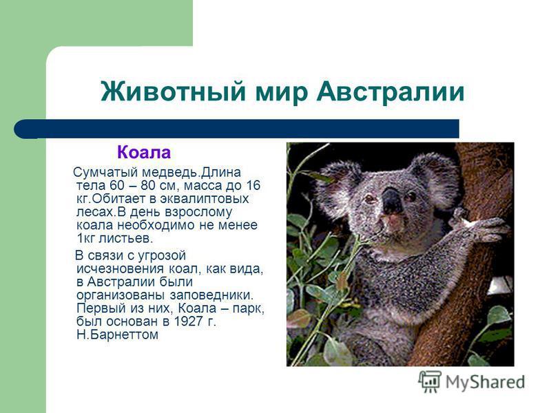 Животный мир Австралии Коала Сумчатый медведь.Длина тела 60 – 80 см, масса до 16 кг.Обитает в эвкалиптовых лесах.В день взрослому коала необходимо не менее 1 кг листьев. В связи с угрозой исчезновения коал, как вида, в Австралии были организованы зап