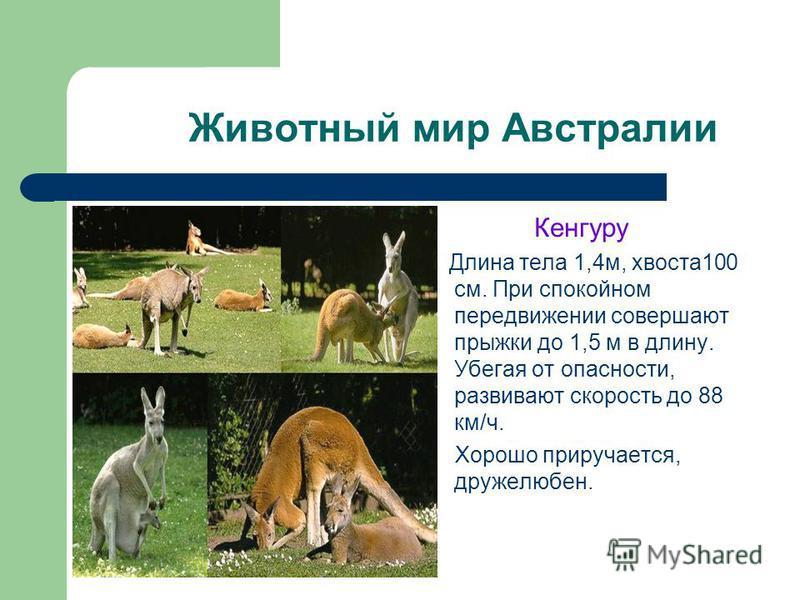 Животный мир Австралии Кенгуру Длина тела 1,4 м, хвоста 100 см. При спокойном передвижении совершают прыжки до 1,5 м в длину. Убегая от опасности, развивают скорость до 88 км/ч. Хорошо приручается, дружелюбен.