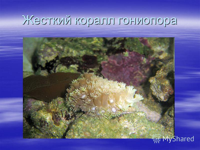 Жесткий коралл гони опора