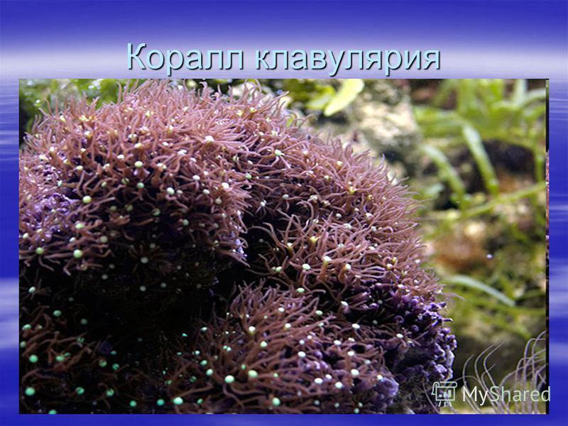 Коралл клавулярия