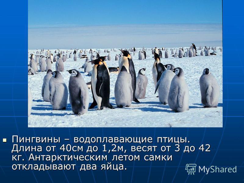 Пингвины – водоплавающие птицы. Длина от 40 см до 1,2 м, весят от 3 до 42 кг. Антарктическим летом самки откладывают два яйца. Пингвины – водоплавающие птицы. Длина от 40 см до 1,2 м, весят от 3 до 42 кг. Антарктическим летом самки откладывают два яй