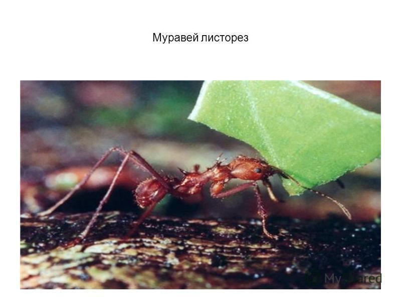 Муравей листорез