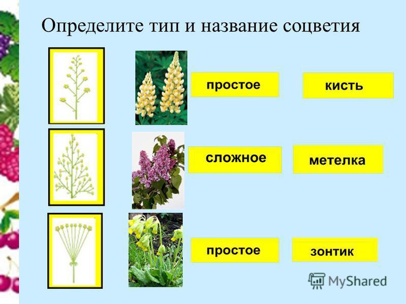 Определите тип и название соцветия