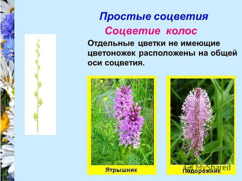 Простые соцветия Соцветие колос Отдельные цветки не имеющие цветоножек расположены на общей оси соцветия. Подорожник Ятрышник