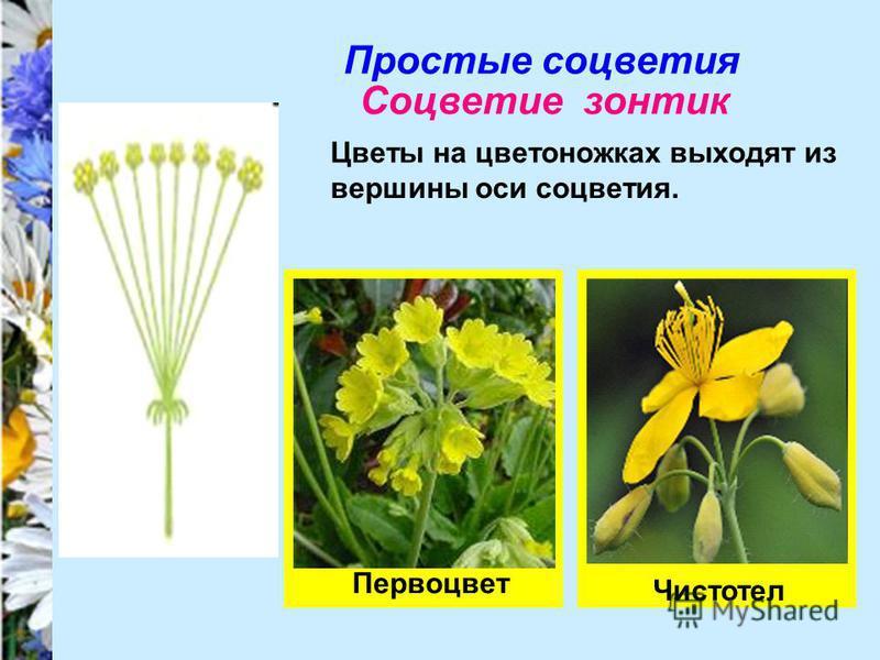Простые соцветия Соцветие зонтик Цветы на цветоножках выходят из вершины оси соцветия. Первоцвет Чистотел