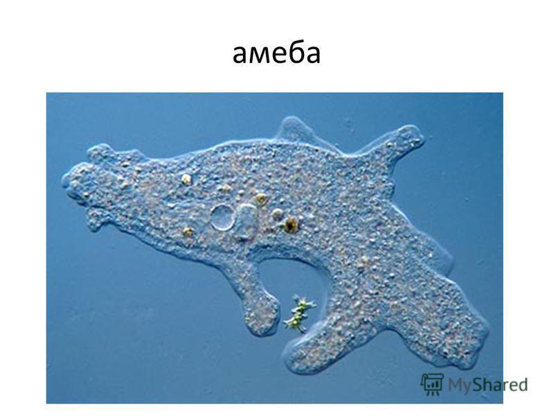 амеба