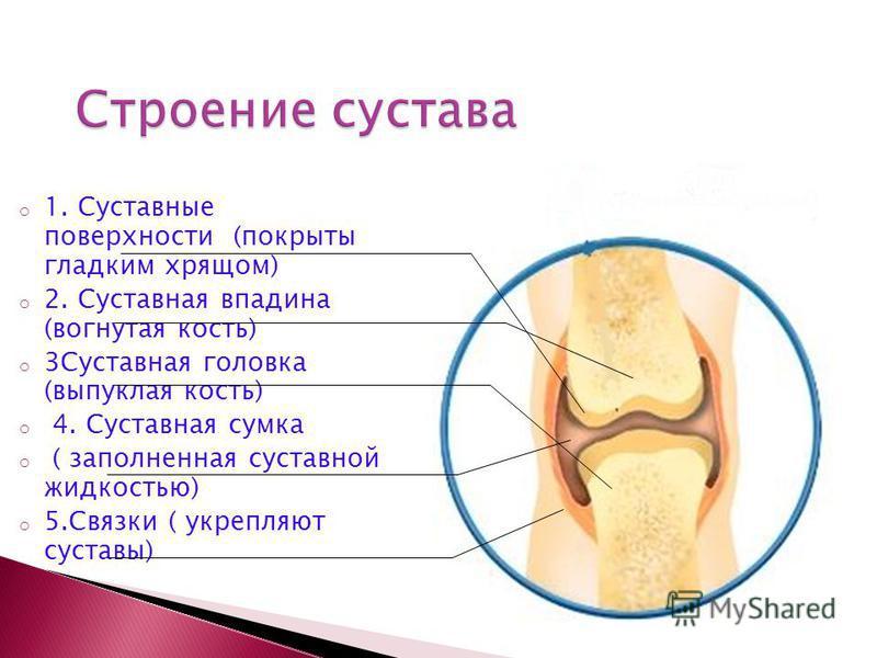 o 1. Суставные поверхности (покрыты гладким хрящом) o 2. Суставная впадина (вогнутая кость) o 3Суставная головка (выпуклая кость) o 4. Суставная сумка o ( заполненная суставной жидкостью) o 5. Связки ( укрепляют суставы)