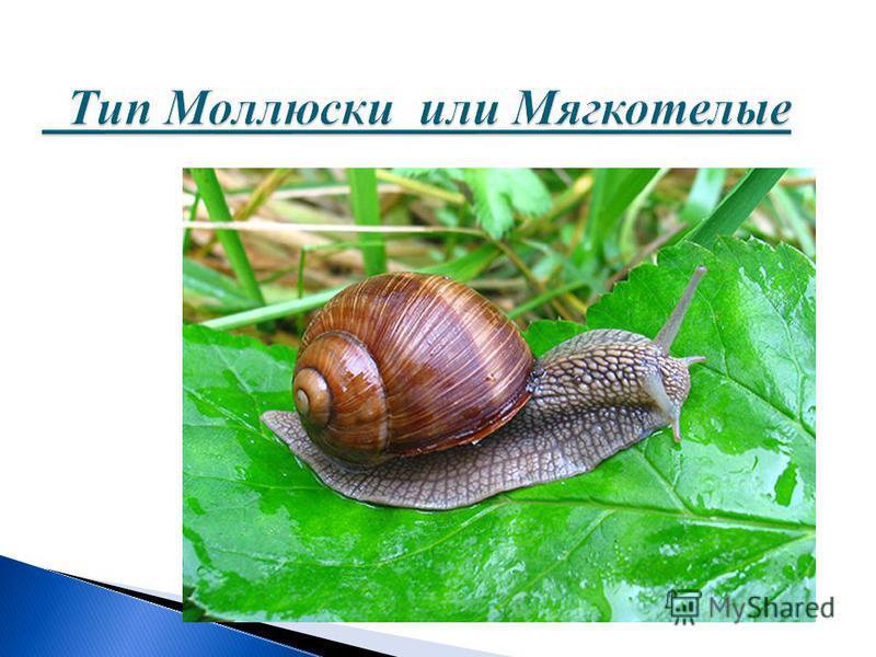 Тип Моллюски или Мягкотелые Тип Моллюски или Мягкотелые