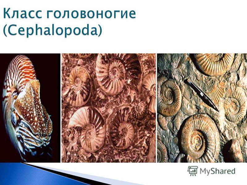 Класс головоногие (Cephalopoda)
