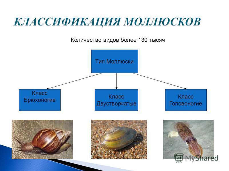 Количество видов более 130 тысяч Тип Моллюски Класс Брюхоногие Класс Двустворчатые Класс Головоногие