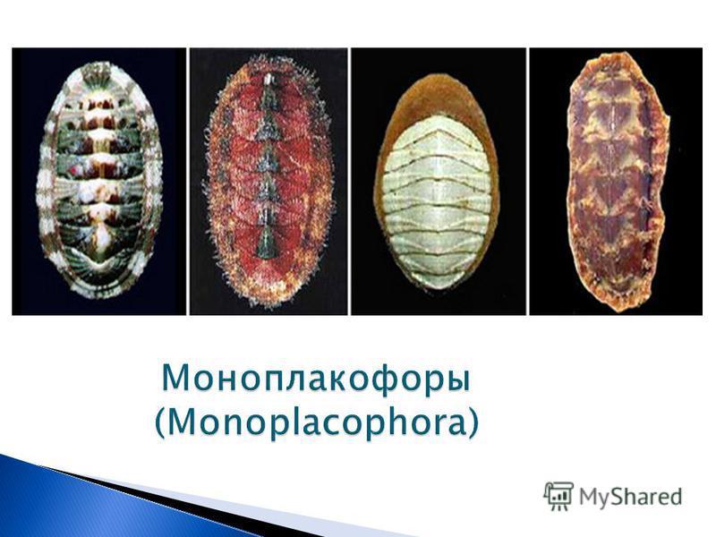 Моноплакофоры (Monoplacophora)