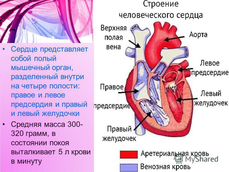 Сердце представляет собой полый мышечный орган, разделенный внутри на четыре полости: правое и левое предсердия и правый и левый желудочки Средняя масса 300- 320 грамм, в состоянии покоя выталкивает 5 л крови в минуту