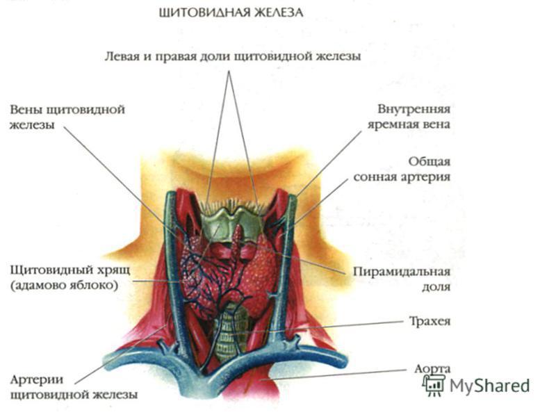 новостройки щитовидная железа в разрезе представляет собой