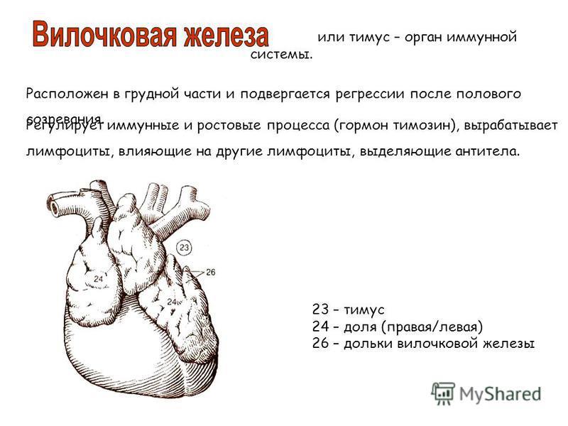 или тимус – орган иммунной системы. Расположен в грудной части и подвергается регрессии после полового созревания. 23 – тимус 24 – доля (правая/левая) 26 – дольки вилочковой железы Регулирует иммунные и ростовые процесса (гормон тимозин), вырабатывае