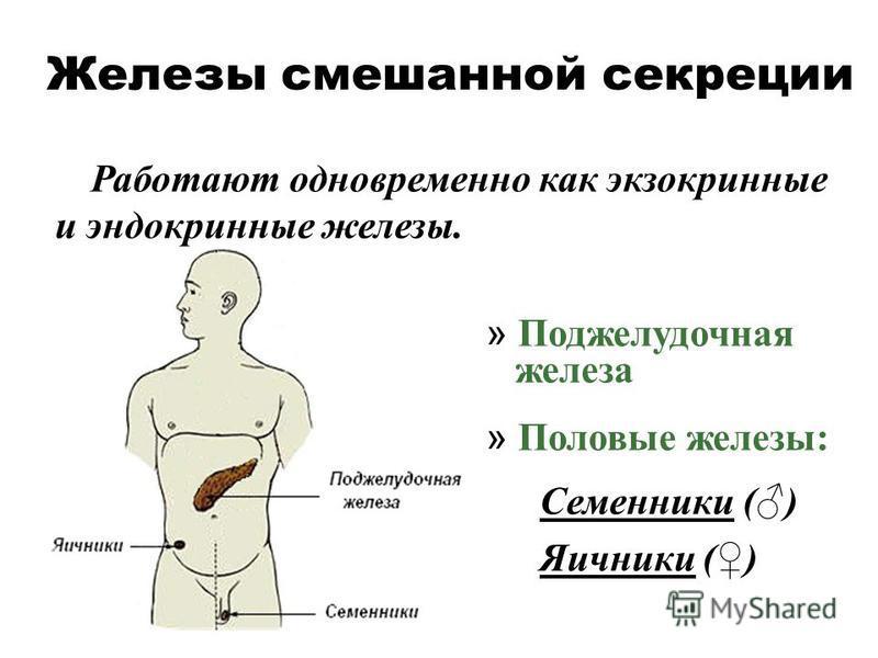 Железы смешанной секреции Работают одновременно как экзокринные и эндокринные железы. » Поджелудочная железа » Половые железы: Семенники () Яичники ()