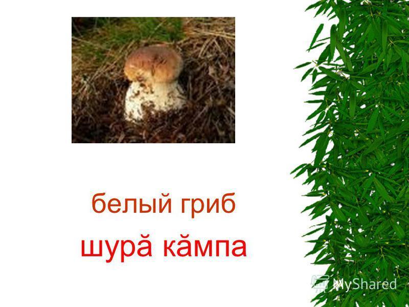 белый гриб шурă кăмпа